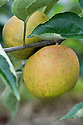 Apple 'Orleans Reinette', mid Septemer. A French dessert apple noted in 1776 by the Dutch botanist Knoop. Sometimes referred to as 'Golden Reinette' and sold for a time in the UK during the early 20th century as 'Winter Ribston'.