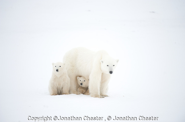 Polar bear,Cape Churchill,Canada