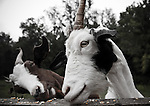 Goats eating corn at a farm