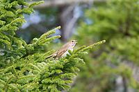 hermit thrush, Catharus guttatus, singing in a springtime evergreen, Nova Scotia, Canada