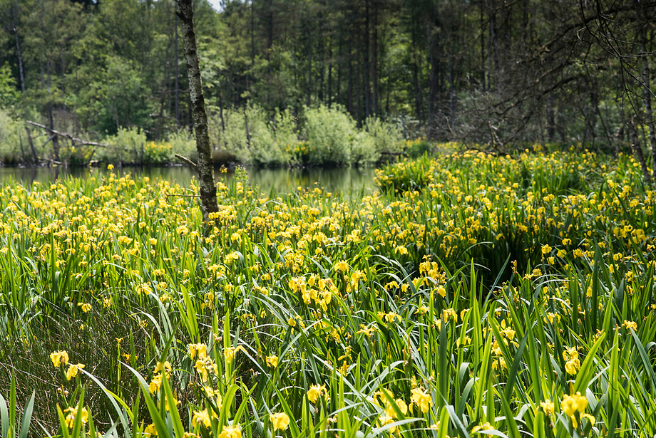 Gele lis (Iris pseudacorus) aan het putven
