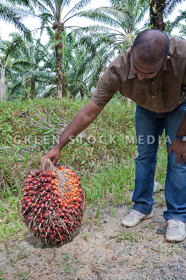 A man holding a fresh fruit bunch (FFB) of oil palm recently harvested. Average bunches weigh 20 to 30 kg (approx 45-65 lbs). The Sindora Palm Oil Plantation, owned by Kulim, is green certified by the Roundtable on Sustainable Palm Oil (RSPO) for its environmental, economic, and socially sustainable practices. Johor Bahru, Malaysia