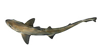 Smooth Hound Mustelus mustelus Length to 150cm<br /> Similar to Starry Smooth Hound but less frequently caught in inshore waters. Dorsal surface is uniformly grey-brown and lacks white spots. Widespread but generally scarce, S and SW only.