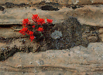 Indian Paintbrush with a shallow hold on a cliff face in Zion National Park, Utah.