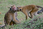 Toque Macaques Connecting