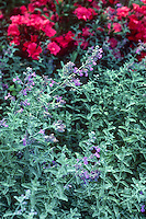 Nepeta x faassenii - Catmint, gray foliage flowering perennial flowering in garden