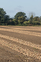 Onions wind rowed ready for lifting <br /> Picture Tim Scrivener 07850 303986<br /> &hellip;.covering agriculture in the UK&hellip;.