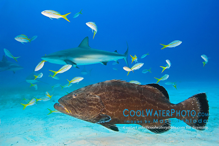 Black Grouper, Mycteroperca bonaci, Caribbean Reef Sharks, Carcharhinus perezi, and Yellowtail Snappers, Ocyurus chrysurus, West End, Grand Bahama, Bahamas, Atlantic Ocean