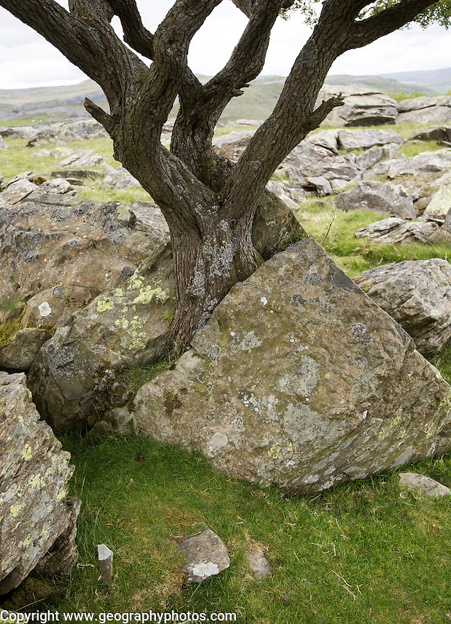 Biotic weathering as growing tree splits rock apart, Austwick, Yorkshire Dales national park, England,UK
