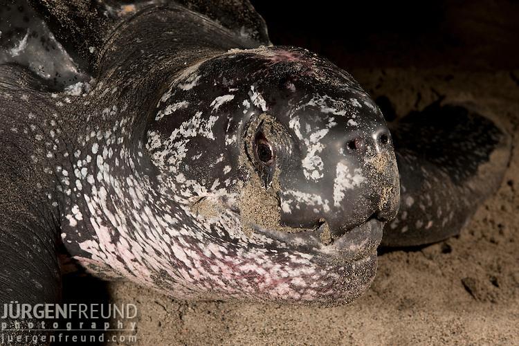 Leatherback turtle (Dermochelys coriacea) female nesting on the beach.