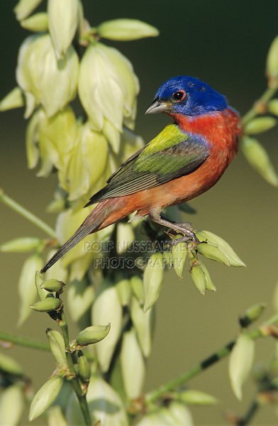 Painted Bunting, Passerina ciris,male on blooming Soaptree Yucca (Yucca elata) , Lake Corpus Christi, Texas, USA, May 2003