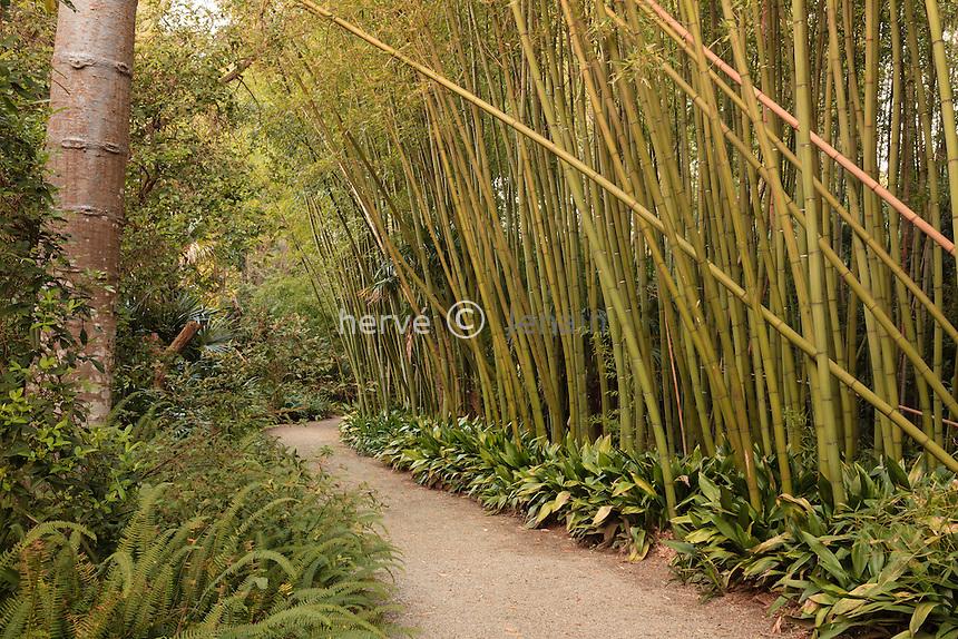 France, Alpes-Maritimes (06), Saint-Jean-Cap-Ferrat, le jardin botanique des C&egrave;dres:<br /> bambou, Phyllostachys bord&eacute;s d'Aspidistra // France, Alpes-Maritimes, Saint-Jean-Cap-Ferrat, the botanical garden les C&egrave;dres(Cedars): bamboo, Phyllostachys lined by Aspidistra.