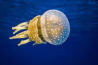 Papuan jellyfish, Mastigias papua Bikini Atoll, Marshall Islands, Micronesia, Pacific Ocean
