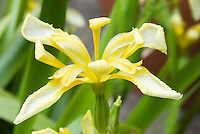 Iris foetidissima var. lutescens in spring flowers
