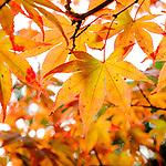 Aceraceae - Ahorngewächse
