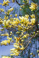 Magnolia 'Elizabeth', yellow flowered spring blooming shrub tree, branches with yellow flowers against sunny blue sky