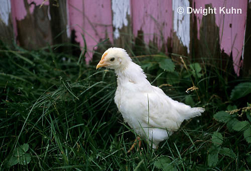 DG13-033z  Immature chicken showing developing comb and molting feathers - White Leghorn