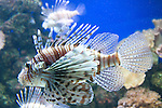 Lionfish, fish, aquarium, exhibit, Downtown Aquarium, December, Denver, Colorado, USA