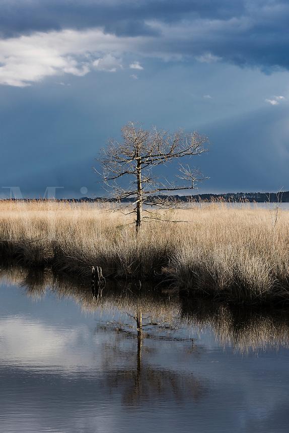 Barren tree in winter salt marsh, Currituck, North Carolina, USA