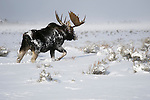 A bull moose walks through the deep snow of the sagebrush flats in Grand Teton National Park, Wyoming