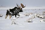 A bull moose walks through the deep snow of the sagebrush flats in Grand Teton National Park, Wyoming