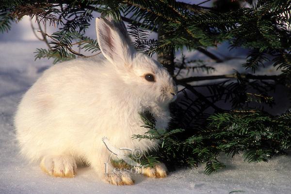Snowshoe hare in winter coat..Camouflage in snow. North America..(Lepus americanus).