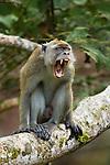 Long-tailed Macaque (Macaca fascicularis) male yawning, Tawau Hills Park, Sabah, Borneo, Malaysia