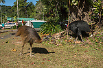 Cassowary dad walking through a caravan park near the beach. Dad shows by actions and his chick follows. Southern cassowary (Casuarius casuarius) also known as double-wattled cassowary, Australian cassowary or two-wattled cassowary.