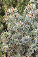 Pinus parviflora Negishi Japanese White Pine closeup of branches and needles