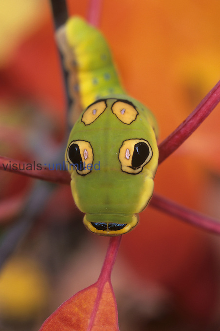 Spicebush Swallowtail Butterfly (Papilio troilus) larva or caterpillar, face-on view of head showing eyespots and other human like features, Family Papilionidae, Ohio, USA. The eyespots allow the caterpillar to resemble a snake scaring off some predators.