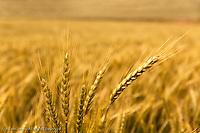 Close-up of wheat in huge field of wheat, Palouse region of eastern Washington.
