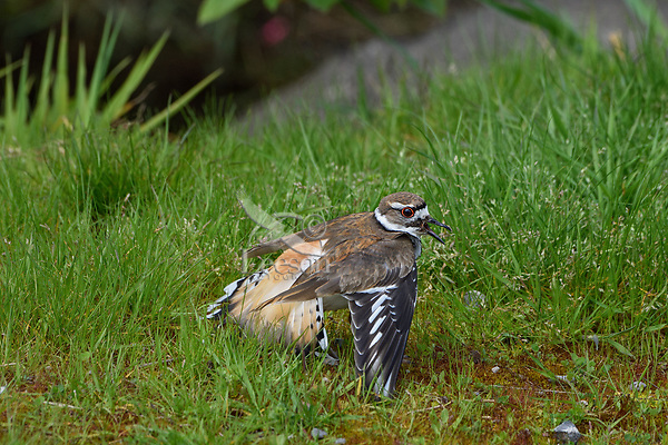 "Killdeer (Charadrius vociferus) acting injured or faking "" broken wing"" display; it is also drawing attention to itself by calling.  This display is done to draw predators or humans away from nest; bird is not really injured.  Western U.S., spring."
