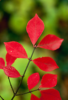Burning bush close up, Euonymous alatus with bright red fall foliage