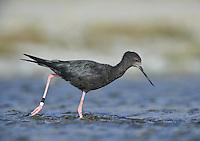 Black Stilt - Himantopus novaezelandiae