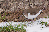 Common Sandpiper, Actitis hypoleucos, adult in snow, Rapperswil, Switzerland, Dezember 2005