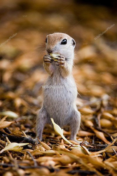 Round-tailed Groundsquirrel, Spermophilus tereticaudus;  Sonoran Desert, Arizona