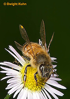 1B05-502z  Honeybee flying from flower, note 4 wings,  Apis mellifera