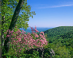 Blue Ridge Parkway, VA: Pink Azalea (Rhododendron nudiflorum) and view of the wooded ridges of the Shenandoah River Valley