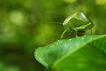 Katydid (Tettigoniidae), Tawau Hills Park, Sabah, Borneo, Malaysia