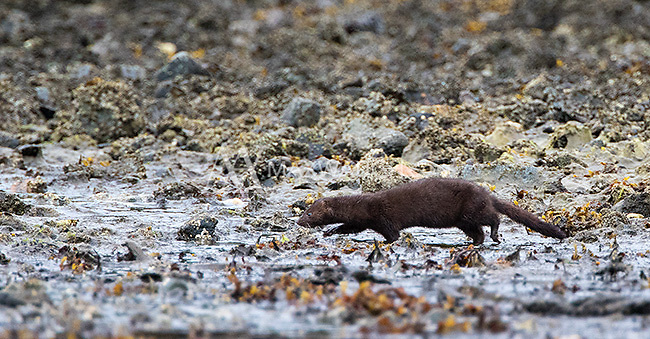 We spied this mink on our final morning.