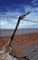 An Emu got caught in a fence line due to drought in Australia, it was trying to cross the land in search for food,South Australia, Climate change.