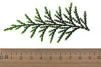Nutka-Scheinzypresse, Nootka-Scheinzypresse, Alaska-Zeder, Alaskazeder, Xanthocyparis nootkatensis, Chamaecyparis nootkatensis, Cupressus nootkatensis, Nootka cypress, yellow cypress, Alaska cypress, Nootka cedar, yellow cedar, Alaska cedar, Alaska yellow cedar, Le cyprès de Nootka, cyprès de Nutka, faux-cyprès de Nootka. Blatt, Blätter, leaf, leaves