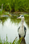 A great blue heron stands in the water of a marshy pond.