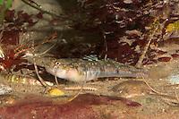 Fleckengrundel, Bunte Sandgrundel, Fleckenküling, Flecken-Grundel, Sand-Grundel, auf Meeresboden zwischen Schlangensternen, Pomatoschistus pictus, painted goby