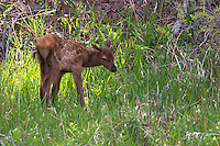This very new elk (Cervus canadensis) calf enjoys a moment in the sun.