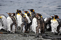 Stand and Face the Sun - King penguins at Sandy Macquarie Island