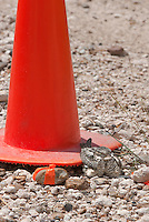 560490006 a wild lesser nighthawk chordeiles acutipennis perches on a nest next to a highway warning cone on a caliche road in mission texas united states