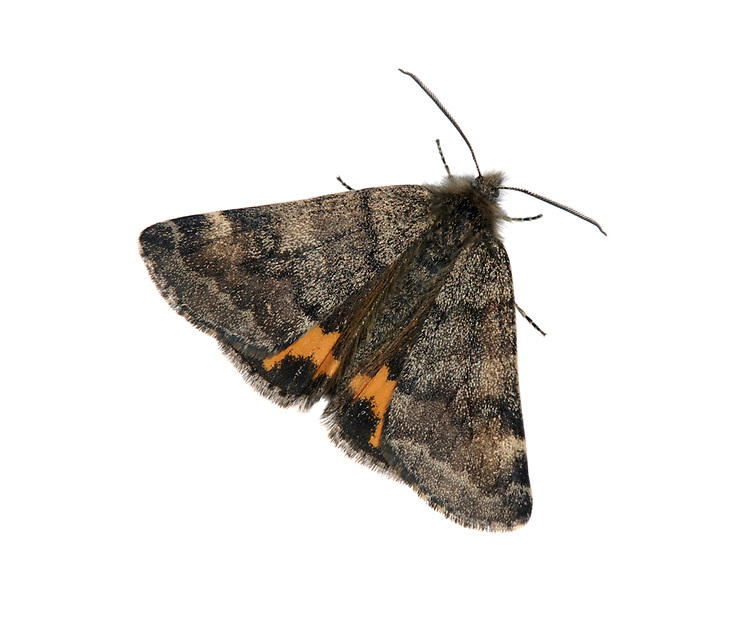 Light Orange Underwing - Archiearis notha