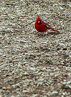 A Northern Cardinal searches for insects on a wood chips path at an arboretum in DuPage County, Illinois