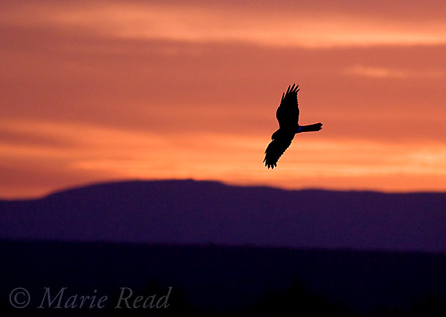 Northern Harrier (Circus cyaneus) silhouette at sunrise, Bosque Del Apache National Wildlife Refuge, New Mexico, USA